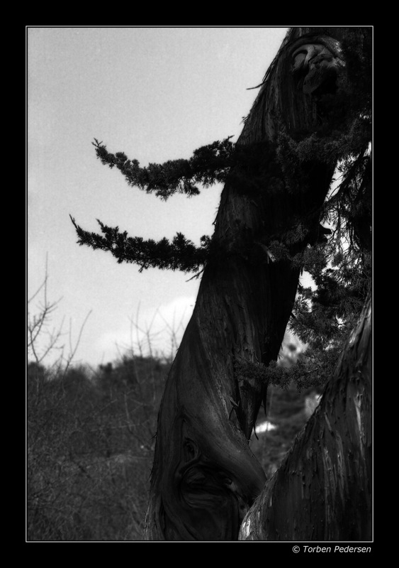 ansigtstræ