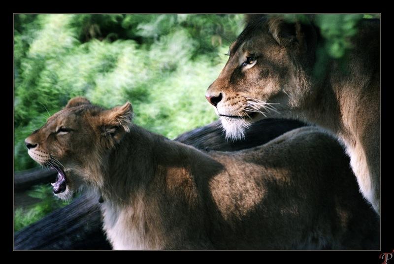 Løver, mor og datter
