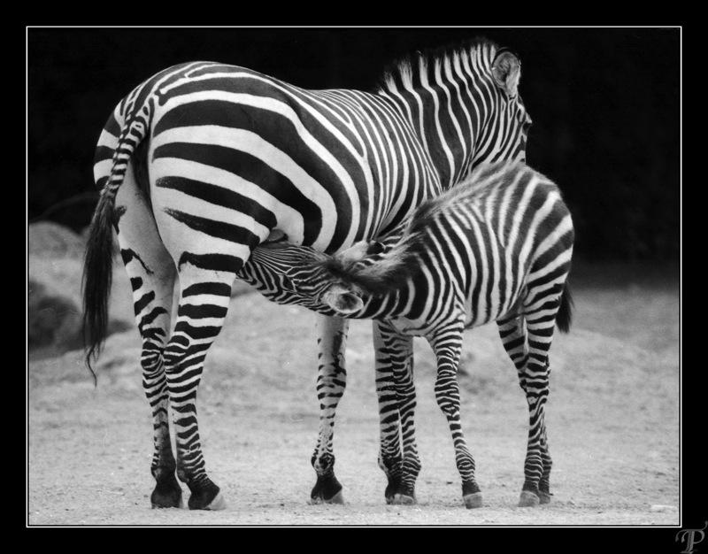 Zebra måltid